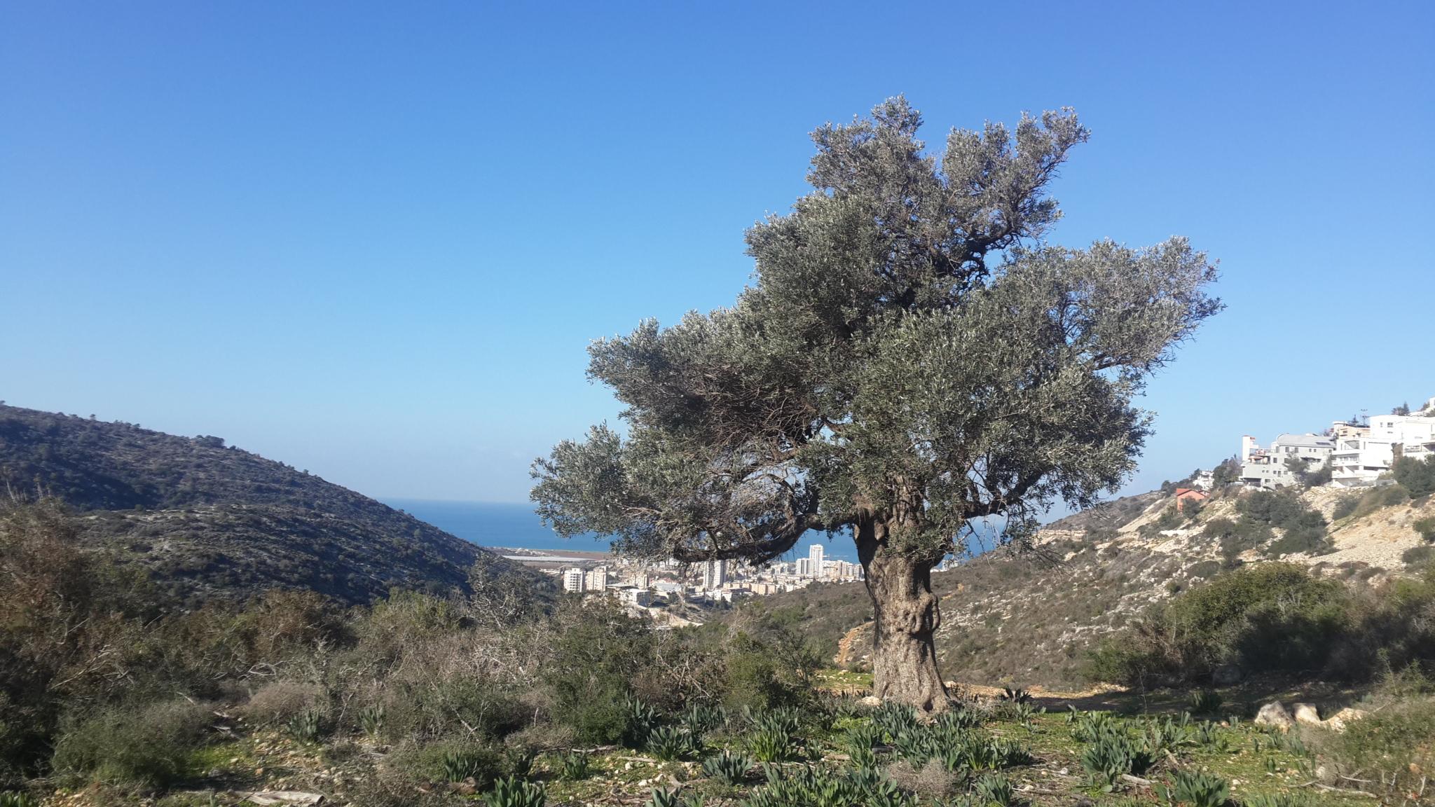 עין קדם ואל-טירה (טירת הכרמל)